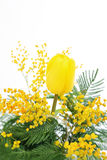 Beautiful yellow tulip and Mimosa for mother day. Beautiful flowers yellow tulip and Mimosa on white background, for holiday postcards stock photo