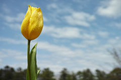 Yellow Tulip Stock Photography