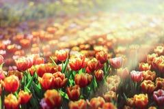 Beautiful yellow tulip with sunbeam scenery Stock Photography