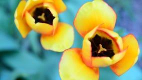 Beautiful yellow tulip,  top view stock video