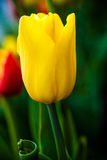 Beautiful yellow tulip. Vertical Abstract background. Flowerbackground, gardenflowers. Garden flower. Stock Photo