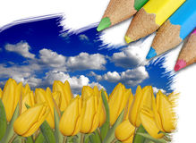 Beautiful yellow tulips. Beautiful summer landscape with yellow tulips being drawn Royalty Free Stock Images