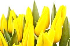 Beautiful yellow tulips Stock Photo
