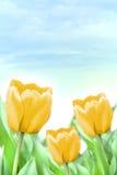 Beautiful yellow tulips. Three beautiful yellow tulips at garden royalty free stock photos