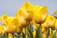 Beautiful yellow tulips against a blue sky Royalty Free Stock Photo