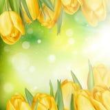 Beautiful yellow tulips. EPS 10 Stock Image