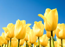 Tulips - tulipa Royalty Free Stock Photos