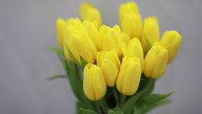 Beautiful yellow tulips flowers in white interior closeup stock footage