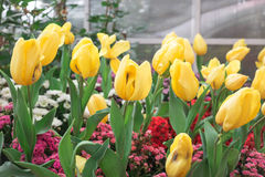 Beautiful yellow tulips. Royalty Free Stock Images