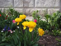 Beautiful yellow tulips in the flower garden stock images