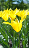Beautiful yellow tulips in the garden Royalty Free Stock Images