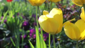 Beautiful yellow tulips grow in a spring garden.  stock video footage