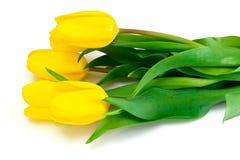 Beautiful Yellow tulips Isolated Stock Photos