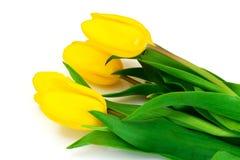 Beautiful Yellow tulips Isolated Royalty Free Stock Image