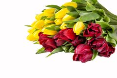 Beautiful red and yellow  tulips with leaves isolated on white background. stock photography
