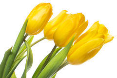 Beautiful yellow tulips over the white background Royalty Free Stock Photos