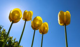 Beautiful yellow tulips in spring against blue sky.  stock image