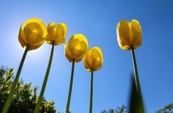 Beautiful yellow tulips in spring against blue sky.  royalty free stock images