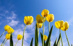 Beautiful yellow tulips in spring against blue sky with clouds.  stock photos