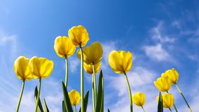Beautiful yellow tulips in spring against blue sky with clouds. Floral background.  stock image