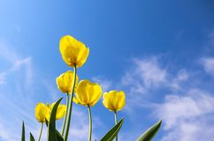 Beautiful yellow tulips in spring against blue sky with clouds. Floral background.  royalty free stock image