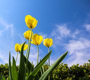 Beautiful yellow tulips in spring against blue sky with clouds. Floral background.  stock photo