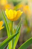 Beautiful yellow tulips Royalty Free Stock Image