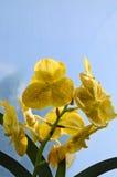 Beautiful yellow Vanda orchid flower Royalty Free Stock Photo