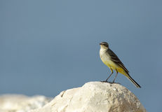 Beautiful yellow wagtail on the limestone rock Stock Photos