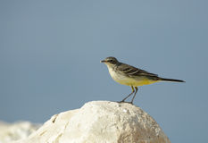 Beautiful yellow wagtail Stock Photo