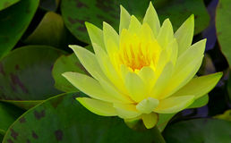 Beautiful yellow water lily in green pond stock image