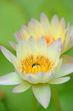 A beautiful yellow waterlily or lotus flower Royalty Free Stock Image