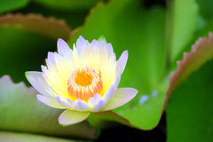 A beautiful yellow waterlily or lotus flower Royalty Free Stock Photography
