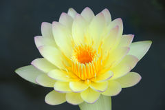A beautiful yellow waterlily or lotus flower Royalty Free Stock Photo