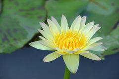 A beautiful yellow waterlily or lotus flower Stock Photography