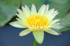 A beautiful yellow waterlily or lotus flower Stock Images