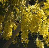 Beautiful yellow  weeping flowers of Cassia fistula, the golden shower tree . Stock Photo