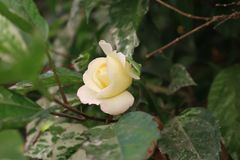 Beautiful yellow white rose blooming in leaves stock photos