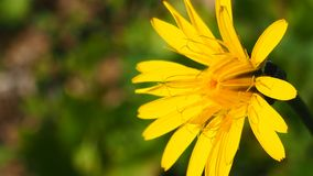 A beautiful yellow wild flower in a field. In portugal royalty free stock images