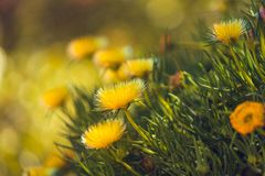 Close Up of Yellow Wild Flowers. Hardy Ice Plant in Bloom. Beautiful Yellow Wild Flowers Close Up. Hardy Yellow Ice Plant in Blossom, California Springtime stock photos