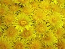 Yellow wild dandelion flowers, Lithuania Royalty Free Stock Photo