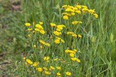 Beautiful yellow wild flowers Royalty Free Stock Image
