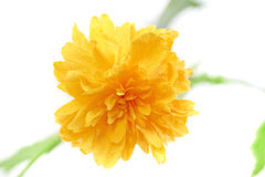 Beautiful yellow wild  rose .Closeup.Isolated. Royalty Free Stock Photo