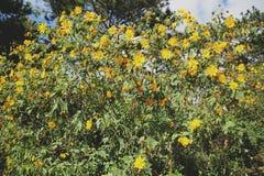 Beautiful yellow wild sunflowers in sunny day stock photos