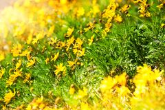 Beautiful yellow wildflowers Stock Photography
