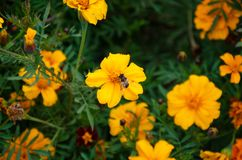 Yellow field colors with bee stock photos