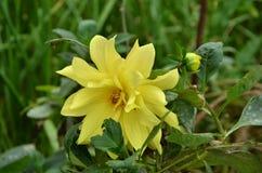 Beautiful YellowFlower In The Garden