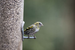 Beautiful Yellowhammer Emberiza Citrinella on garden bird feeder Stock Image