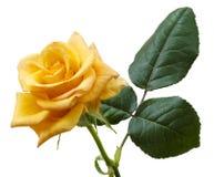 Beautiful yellowish orange rose isolated on white background. Macro stock photos