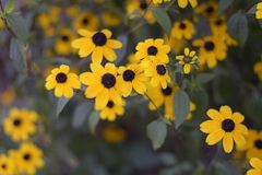 Beautiful yellowl summer flowers close up in my garden Stock Photography